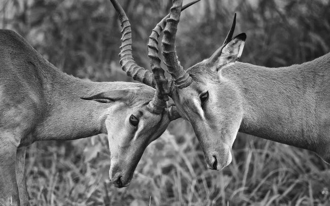 Impala (Aepyceros melampus), Národný park Kruger, Južná Afrika