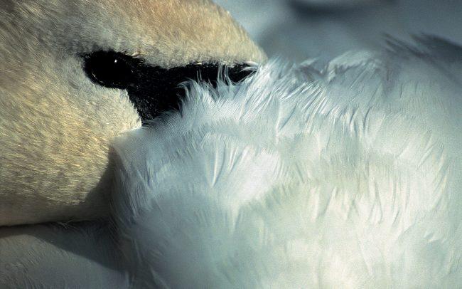 Bütykös hattyú (Cygnus olor), Csallóköz