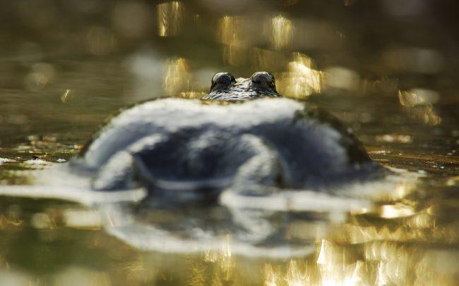 Fire-bellied Toad (Bombina bombina), Great Rye Island, Slovakia