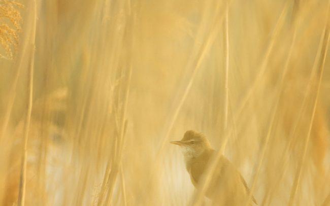 Great Reed Warbler (Acrocephalus arundinaceus), Great Rye Island, Slovakia