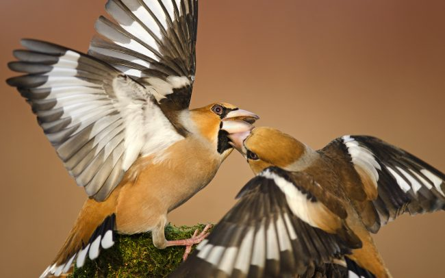 Hawfinch (Coccothraustes coccothraustes), Great Rye Island, Slovakia