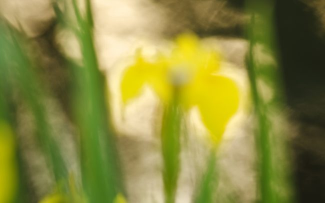 Kosatec žltý (Iris pseudacorus), Žitný ostrov
