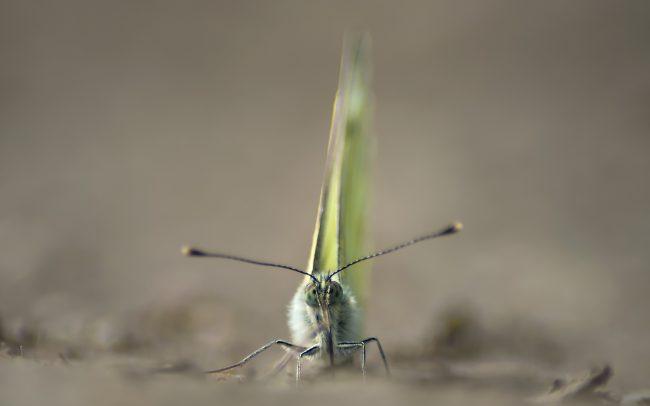 Mlynárik repkový (Pieris napi), CHKO Dunajské luhy, Žitný ostrov