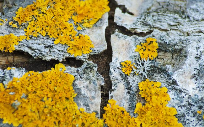Common Orange Lichen (Xanthoria parietina), Great Rye Island, Slovakia
