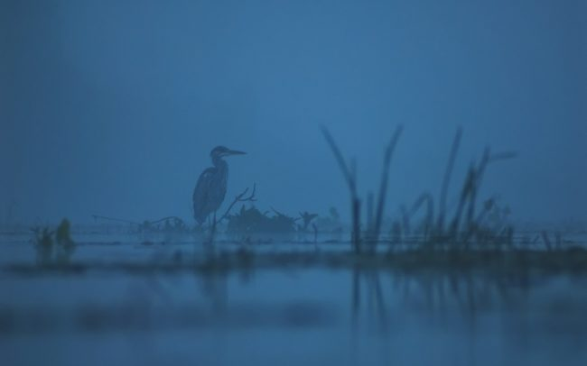 Grey Heron (Ardea cinerea), Great Rye Island, Slovakia