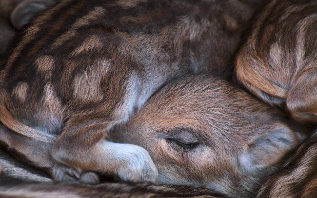 Wild Boar (Sus scrofa), Dunakeszi, Hungary