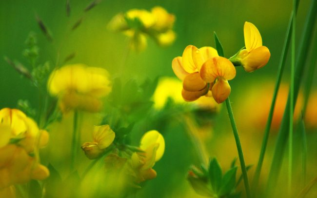 Bird's-foot Trefoil (Lotus corniculatus), Great Rye Island, Slovakia