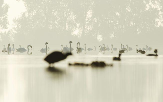 Labuť hrbozobá (Cygnus olor), Žitný ostrov