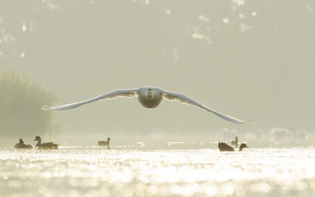 Mute Swan (Cygnus olor), Great Rye Island, Slovakia