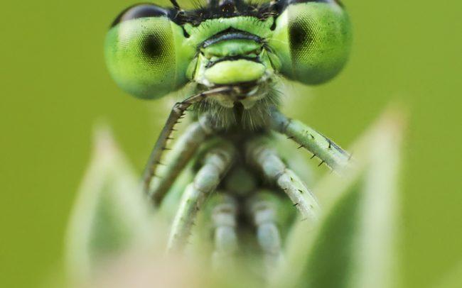 Légivadász (Coenagrionidae sp.), Csallóköz