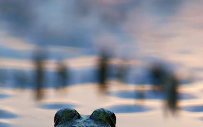 Kecskebéka (Pelophylax esculentus), Molnárpoloska (Gerris lacustris), Duna menti erdők Tájvédelmi Körzet, Csallóköz