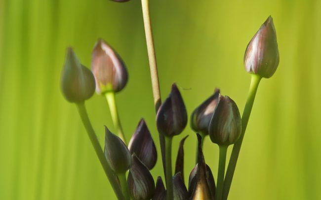 Virágkáka (Butomus umbellatus), Csallóköz
