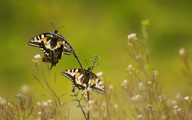 Old World Swallowtail (Papilio machaon), Danube Floodplains Protected Landscape Area, Great Rye Island, Slovakia