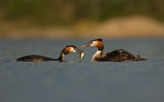 Great Crested Grebe (Podiceps cristatus), Great Rye Island, Slovakia