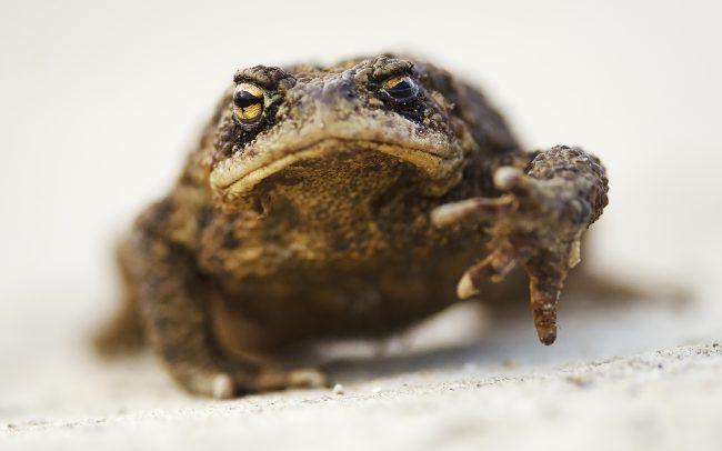Common Toad (Bufo bufo), Great Rye Island, Slovakia