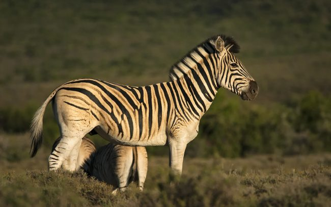 Burchell´s Zebra (Equus quagga burchellii), Karoo National Park, South Africa