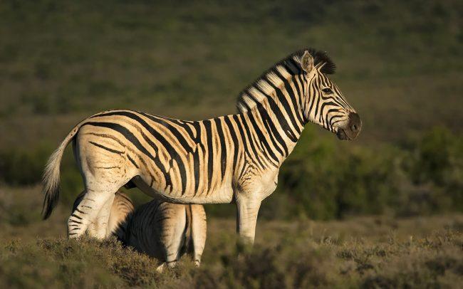 Burchell-zebra (Equus quagga burchellii), Karoo Nemzeti Park, Dél-Afrika