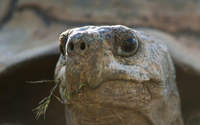 Leopard Tortoise (Stigmochelys pardalis), Karoo National Park, South Africa