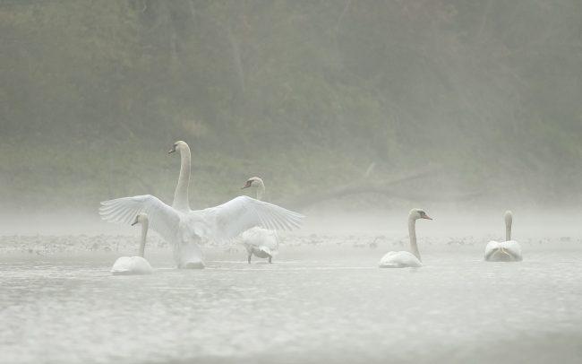 Labuť hrbozobá (Cygnus olor), CHKO Dunajské luhy, Žitný ostrov