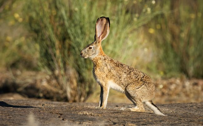 Cape Hare (Lepus capensis), Augrabies Falls National Park, South Africa