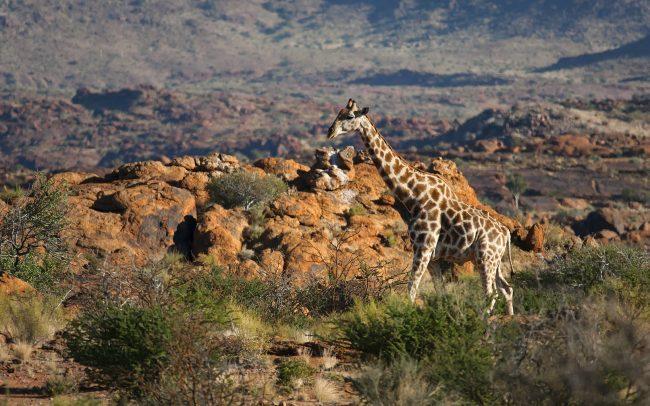 Žirafa juhoafrická (Giraffa giraffa giraffa), Národný park Augrabies Falls, Južná Afrika