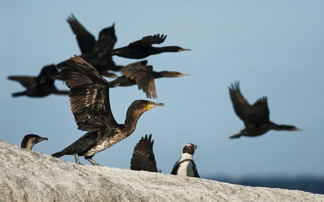 Kormorán pobrežný (Phalacrocorax capensis), Národný park Table Mountain, Južná Afrika