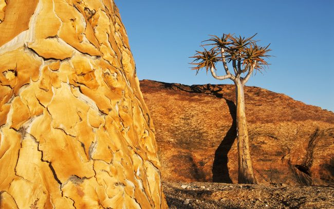 Kokerboom (Aloe dichotoma), Augrabies Falls National Park, South Africa