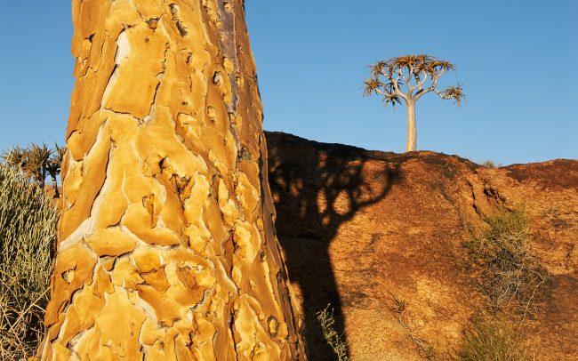 Tegezfa (Aloe dichotoma), Augrabies Falls Nemzeti Park, Dél-Afrika