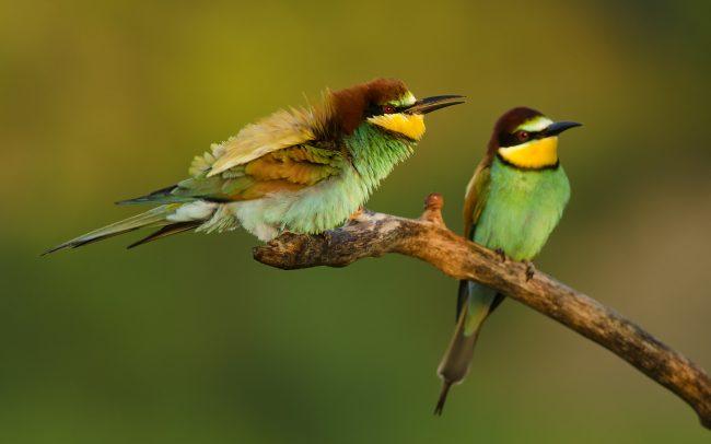 Gyurgyalag (Merops apiaster)