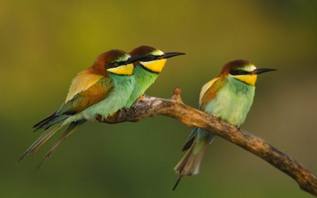 European bee-eater (Merops apiaster), Slovakia