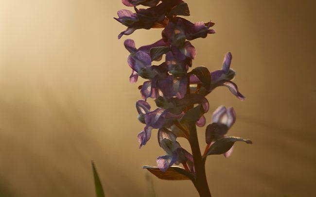 Chochlačka dutá (Corydalis cava), Žitný ostrov