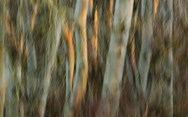Poplars, Danube Floodplains Protected Landscape Area, Great Rye Island, Slovakia