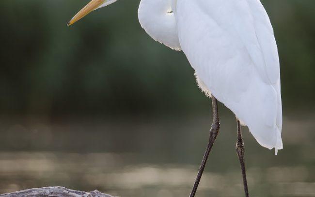 Great Egret (Egretta alba), Great Rye Island, Slovakia