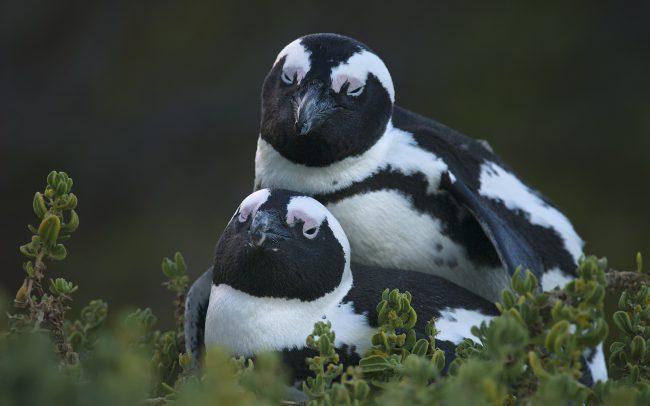 Tučniak okuliarnatý (Speniscus demersus), Národný park Table Mountain, Južná Afrika