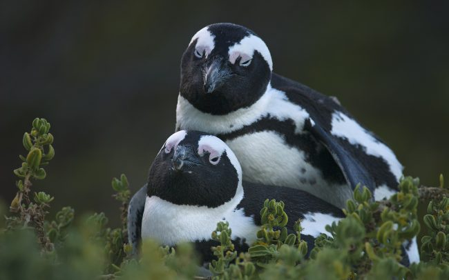African Penguin (Spheniscus demersus), Table Mountain National Park, South Africa