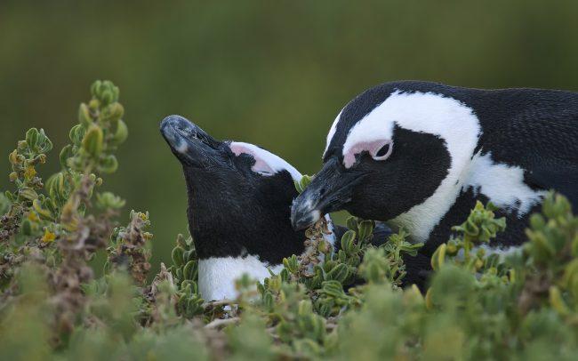 Pápaszemes pinvin (Spheniscus demersus), Table Mountain Nemzeti Park, Dél-Afrika