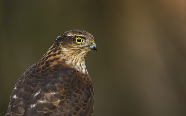 Sparrowhawk (Accipiter nisus), Danube Floodplains Protected Landscape Area, Great Rye Island, Slovakia