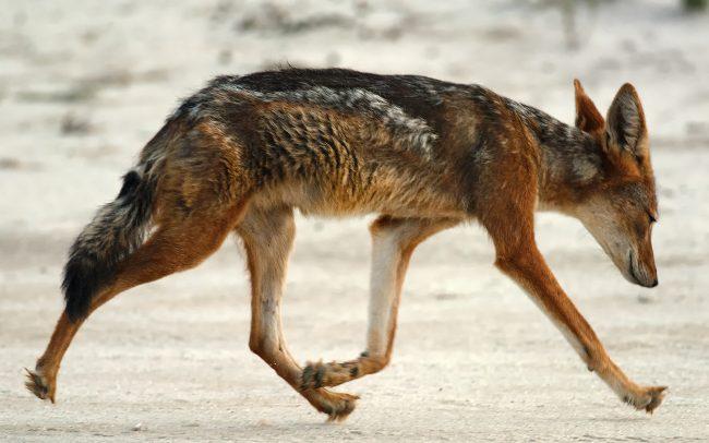 Šakal čabrakový (Canis mesomelas), Kgalagadi Transfrontier Park, púšť Kalahari, Južná Afrika