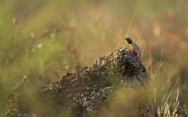 Agama (Agama aculeata), Kgalagadi Transfrontier Park, púšť Kalahari, Južná Afrika