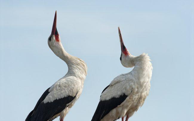 Fehér gólya (Ciconia ciconia), Csallóköz
