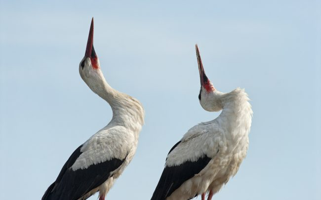 White Stork (Ciconia ciconia), Great Rye Island, Slovakia