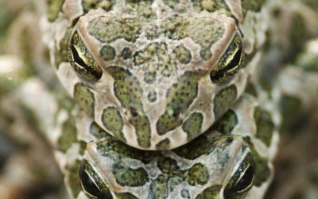 European green toad (Bufo viridis), Great Rye Island, Slovakia
