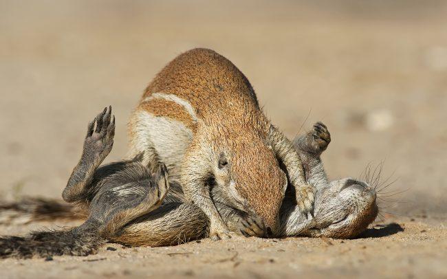 Veverica kapská (Xerus inauris), Kgalagadi Transfrontier Park, púšť Kalahari, Južná Afrika