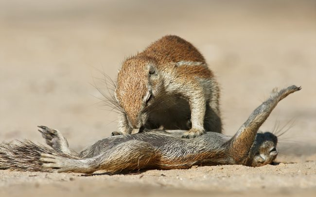 Fokföldi ürgemókus (Xerus inauris), Kgalagadi Transfrontier Park, Kalahári sivatag, Dél-Afrika