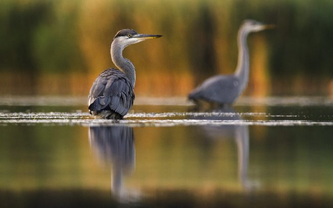 Grey Heron (Ardea cinerea), Great Rye Island, Slovakia