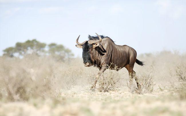 Blue Wildebeest (Connochaetes taurinus), Kgalagadi Transfrontier Park, Kalahari desert, South Africa