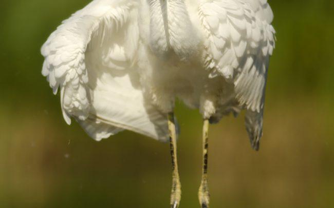 Nagy kócsag (Egretta alba), Csallóköz