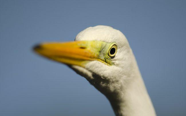 Volavka biela (Egretta alba), Žitný ostrov