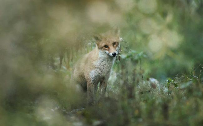 Vörös róka (Vulpes vulpes), Duna menti erdők Tájvédelmi Körzet, Csallóköz