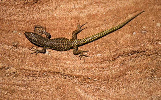 Moroccan rock lizard (Teira perspicillata), High Atlas